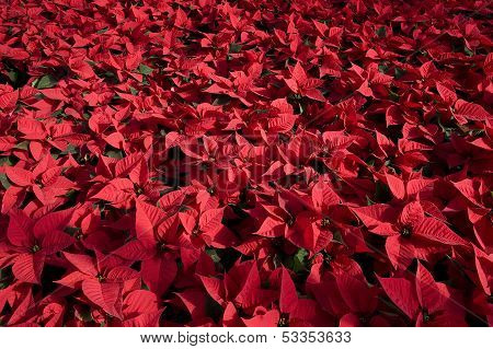 red poinsettia plants inside a green house