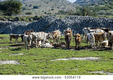 cows in a farmland in sicily