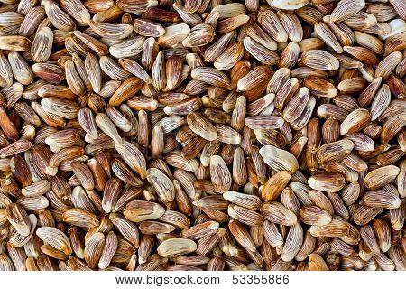 Safflower Seeds (carthamus Tinctorius)