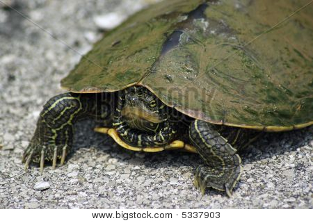 Turtle On The Move