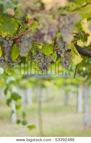 Rias Baixas Vineyard