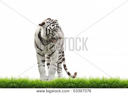 White Begal Tiger With Green Grass Isolated