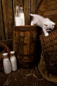 White Persian pussy cat with milk on wooden  background (Focus on  bottle of milk) poster
