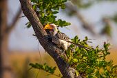 Southern Yellow-billed Hornbill in wild reserve of Botswana, South Africa poster