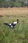 Saddle-billed Stork in Okavango Delta of Botswana, South Africa poster