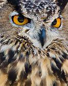 Great Horned Owl (Bubo virginianus) aka Tiger Owl closeup poster
