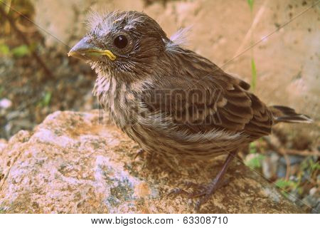 Baby House Finch