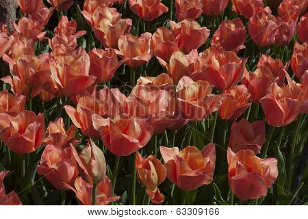 Bright Colorful Tulips.
