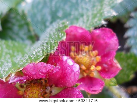 Pink flowering strawberrys