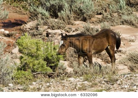 free roaming mustang foal in the Pryor Mountain wild horse range in Wyoming poster