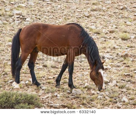 free roaming mustang mare in the Pryor Mountain wild horse range in Wyoming poster