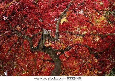 Underneath Small Japanese Maple
