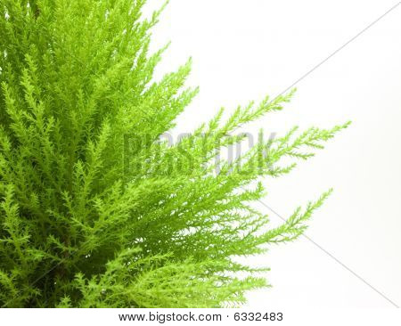 Beautiful young green juniper