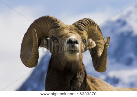 Big Horned Sheep Headshot