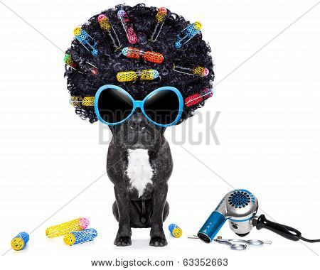dog at hairdresser with afro black hair and glasses poster