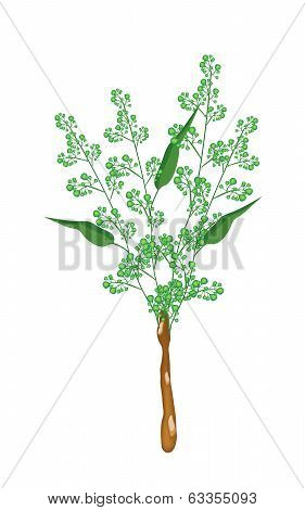 Flower And Leaves Of Neem On White Background