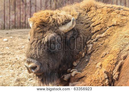 Close-up portrait of European bison