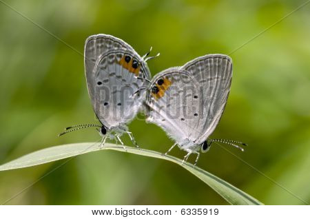 two mating butterflies on a green blade of grass poster