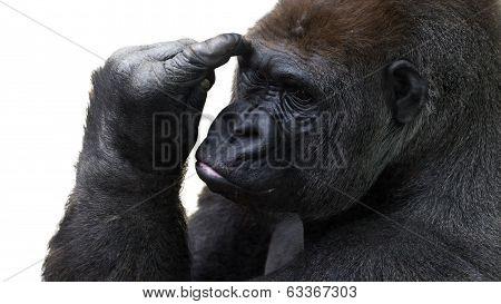 gorilla pondering things