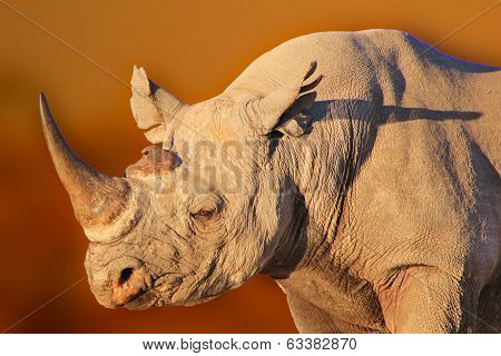 Black Rhino - Wildlife Background from Africa - Rare and Endangered Species from around the World