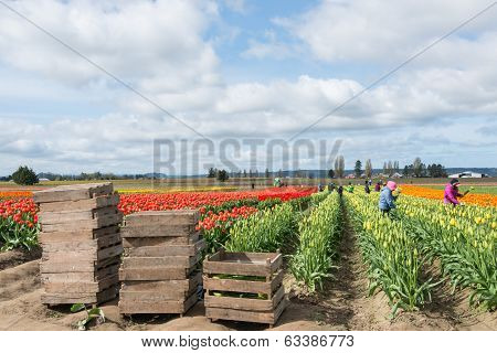 Picking Tulips On Commercial Flower Farm