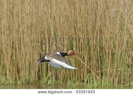 Red Crested pochard (Netta Rufina), in a natural habitat