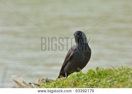 Jackdaw, Corvus Monedula, Single Bird