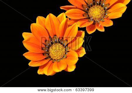 Gazania Flower Of Fuerteventura
