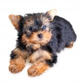 Small Yorkshire Terrier puppy on white background poster