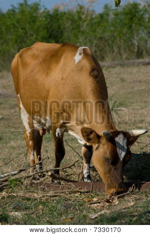 Brown Cow In A Farm (I)