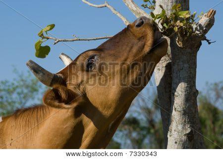 Brown Cow Eating Leafes