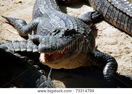 American Alligator With Mouth Open
