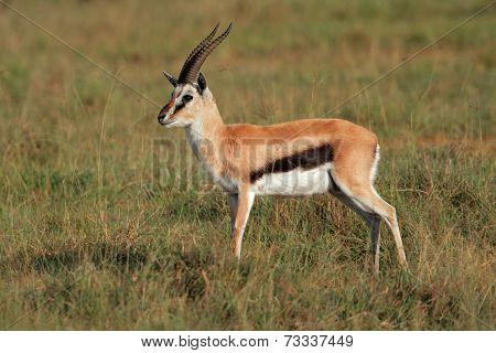 A male Thomsons gazelle (Eudorcas thomsonii), Lake Nakuru National Park, Kenya