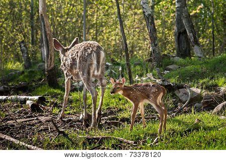 White-tailed Deer Fawn (odocoileus Virginianus) Follows Mother