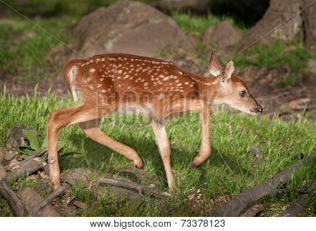 White-tailed Deer Fawn (odocoileus Virginianus) Moves Right