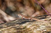 Forest Lizard - Zootoca-vivipara - lizard sunbathing poster