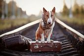The bull terrier looks for the house. The dog waits for the owner. The lost dog. Bull terrier on the road. Dog on rails. Dog with suitcases. poster