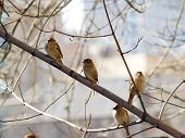 Sparrow flock on branch against city background poster