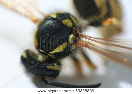 Wasp extreme close up