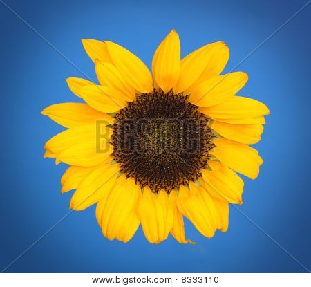 Sunflower with blue background
