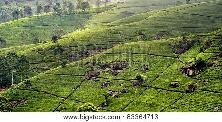 green tee terrasses in the highland from Sri Lanka in fog near Nuwara Eliya poster