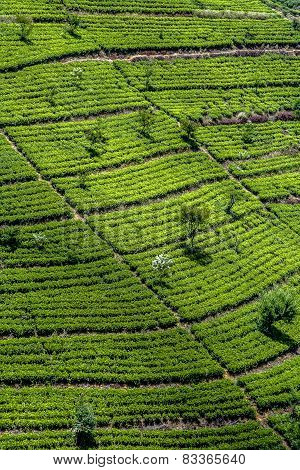 Green Tee Terrasses In The Highland From Sri Lanka In  Fog Near Nuwara Eliya