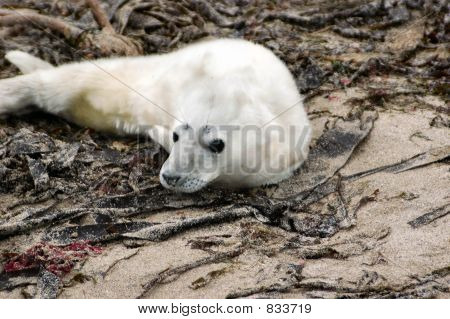 A very young grey seal pup not weaned from its mother yet and unable to swim. poster