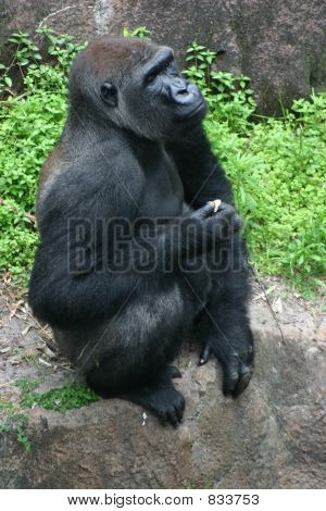 Gorilla in pensive mood