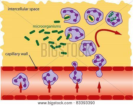 Leucocytes