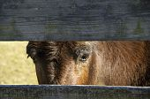 Mule looking through fence at a farm poster
