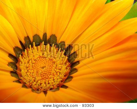 Yellow Gazinia Flower 002