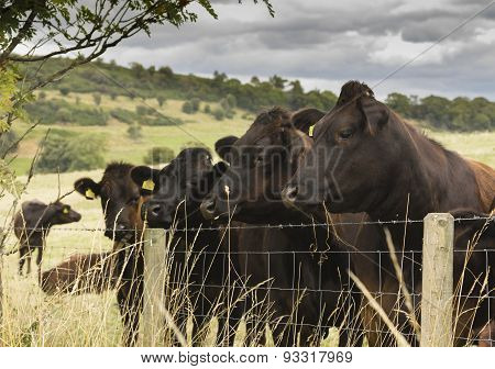 Herd of Cows in a Field