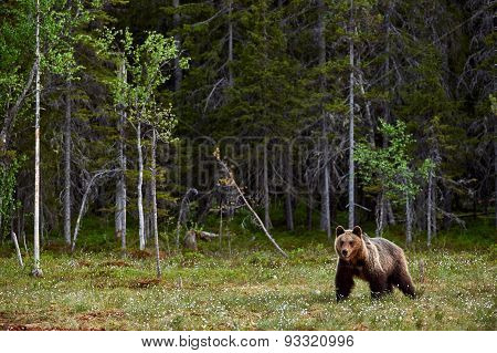 Brown Bear in a Finnish moor on the edge of the forest poster