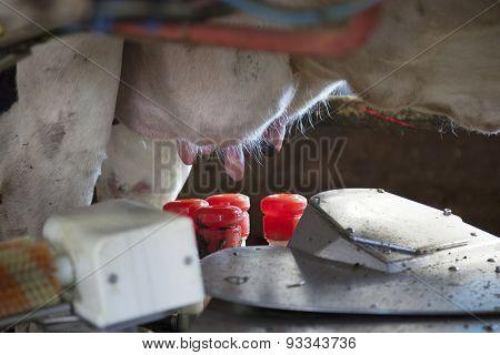 Udder Ready To Be Molken By Milking Machine